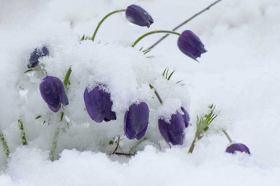 Под майским снегом
