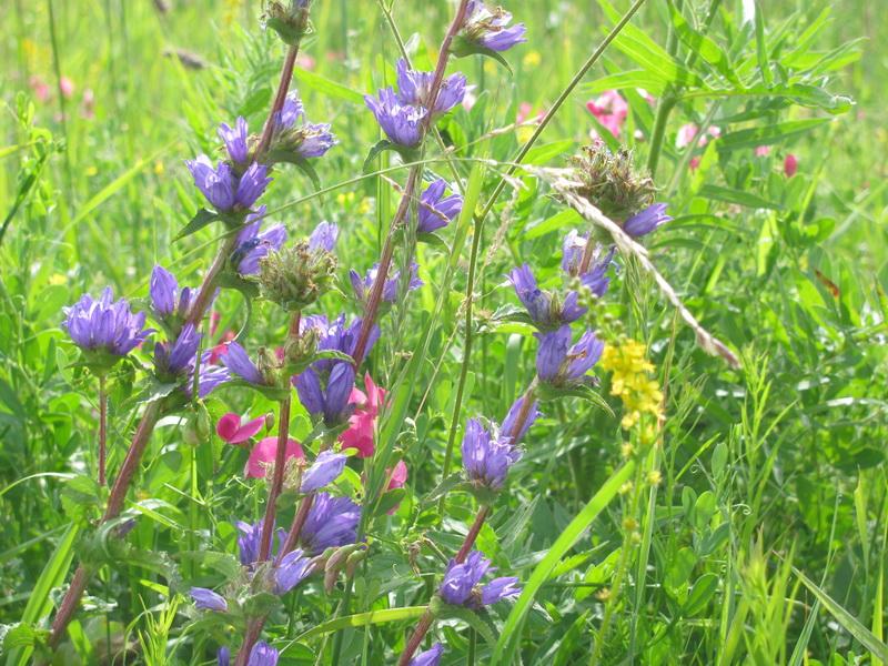 Луговые цветы. Фото: Марианна Яцышина