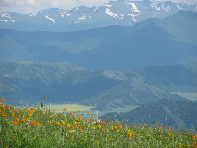 Цветы высоких гор.  Фото: Марианна Яцышина