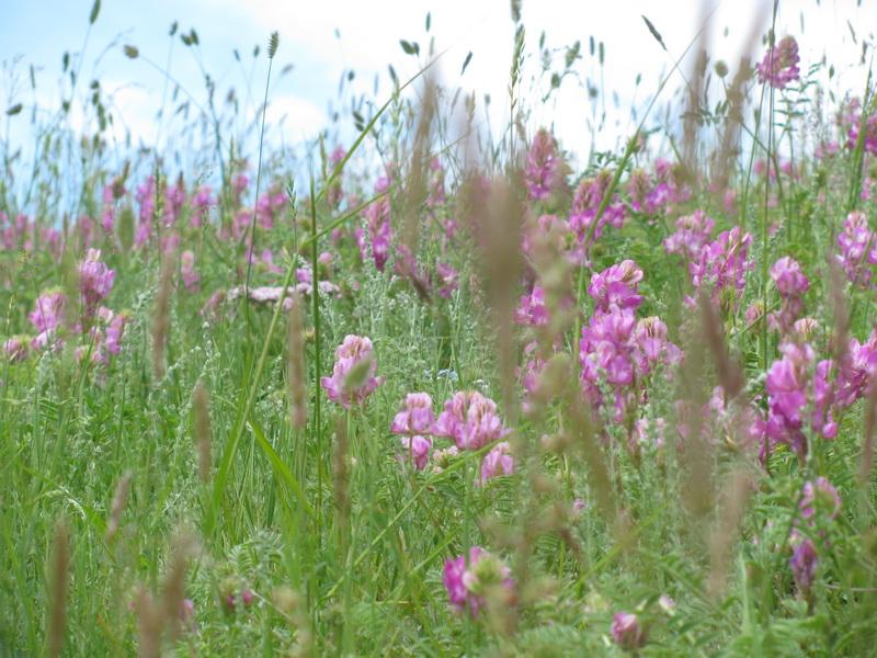 Эспарцет цветет. Фото: Марианна Яцышина