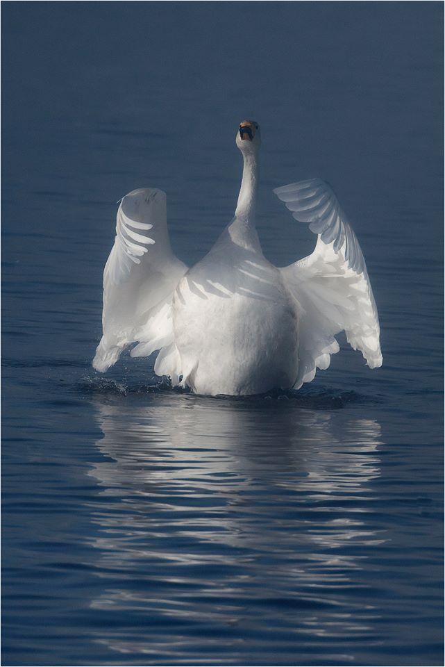 А знает ли птица, как она красива! - прокомментировал как-то одну из моих лебяжьих фотографий Alexander Telalim...