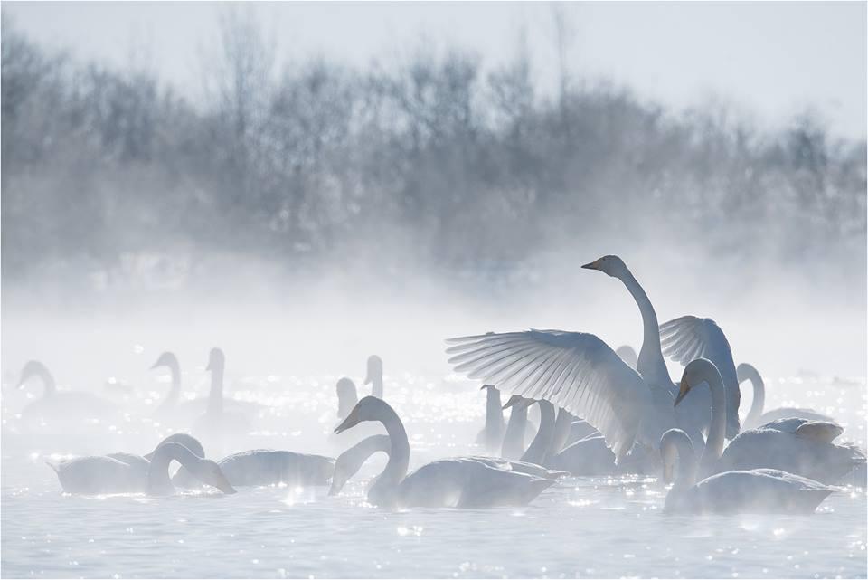 Светлые лебеди на озере Светлое (Алтай), февраль 2015