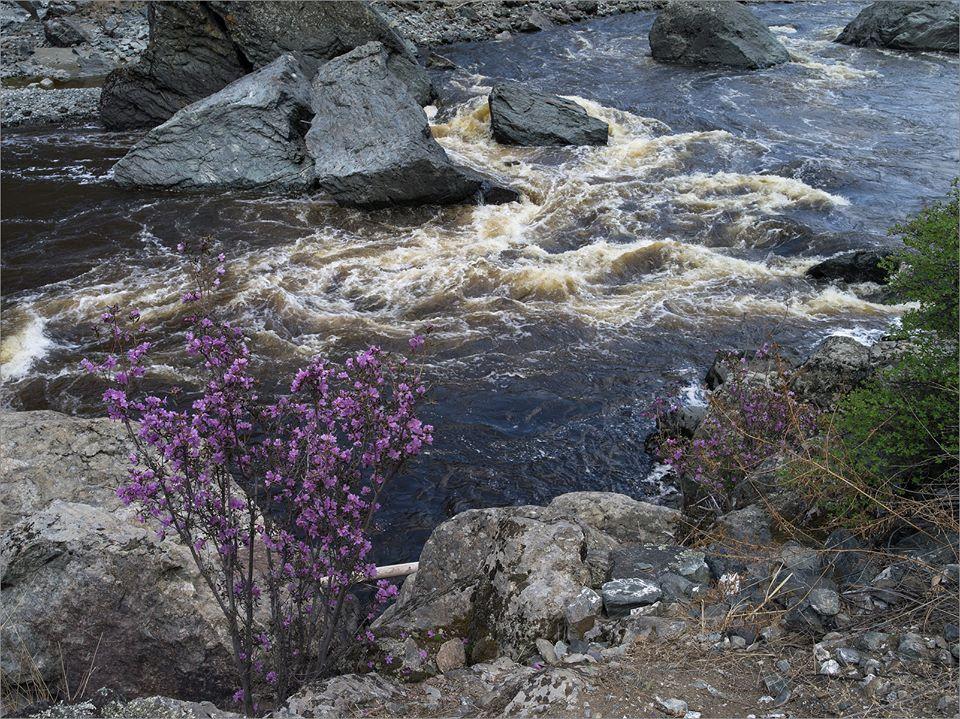 Цветущий маральник на Чулышмане