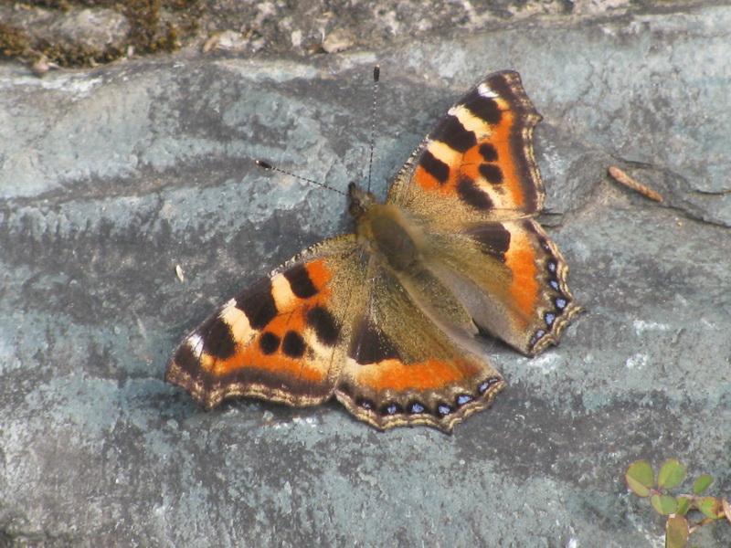 Бабочка в предгорьях Гималаев